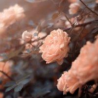 розы :: Алексей Коровин