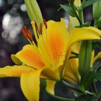 Желтая лилия. :: Таня Свирид