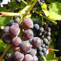 Виноград. :: Андрей
