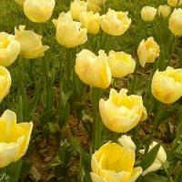 желтые тюльпаны :: Lyubov Po