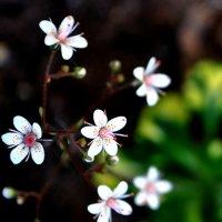 Цветики :: Андрей Шейко