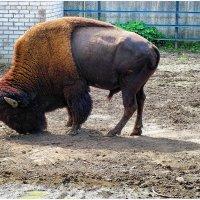 То ли буйвол, толи бык, толи тур... :: Анатолий Михайлович
