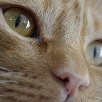 Кошачий взгляд, самый загадочный :: Роман Fox Hound Унжакоff