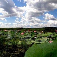 Озеро лотосов :: Мария Дуванова
