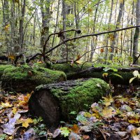 Old mossy logs in the forest :: Дмитрий Каминский