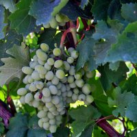 grapes :: Titania Q