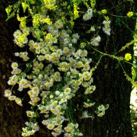 Цветущее дерево... :: ФотоЛюбка *