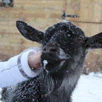 Даже коза любит доброту и ласку))) :: Галина Смирнова