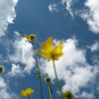 Лютик и небо :: Alena Cyargeenka