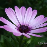 Purple :: Ирина К