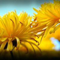 Хризантемы :: Alina_ Mash