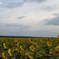 поле подсолнухов :: Юля Кривоносова