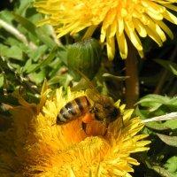 Bee :: Olga Krotova