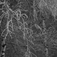 Туман среди берез бродит, в иней их укутывает :: Елена Перевозникова
