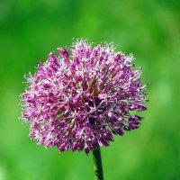 цветок лука :: юрий иванов