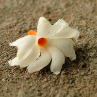 Цветок на камне :: Оксана Шрикантх