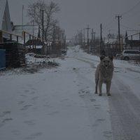 собака-волк :: Кристина Гневэк