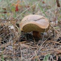 Польский гриб :: ViP_ Photographer