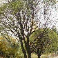 деревья :: Anna Gridshina