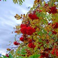 гроздья рябины :: gribushko грибушко Николай