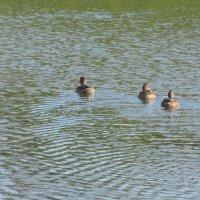 Три утки плавают на озере Калач :: Александр Фомин
