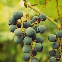 гроздь винограда :: Ксения Самсонова