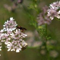 Кинза цветет... :: ФотоЛюбка *