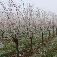 Виноградная лоза :: Mariya laimite