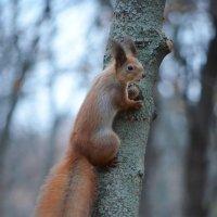 Squirrel :: Diana Maiba
