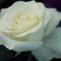 роза :: Ксения Самсонова
