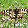 Поликсена, или зеринтия Поликсена (лат. Zerynthia polyxena) :: vodonos241