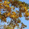 Золотые листья дуба :: Дмитрий Никитин
