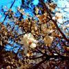 Яблоня в   цвету!.. :: Евгений БРИГ и невич