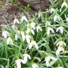 Весна-2021. Расцвели подснежники в саду!!! :: ГЕНРИХ