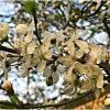 Алыча цветёт. :: Валерия Комова
