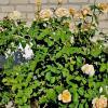 Прикрыв собой кирпичную стену, в тепле блаженствовали розы. :: Восковых Анна Васильевна
