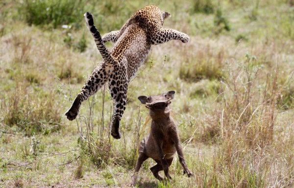 Проворный леопард-летяга - кредо убийцы, и хрюньку жалко