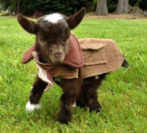 коза с козлятами фото