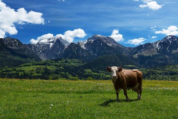 Альпийская коровка