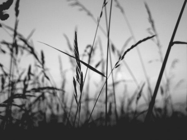 Цветная фотография или черно-белая – пшеница 1
