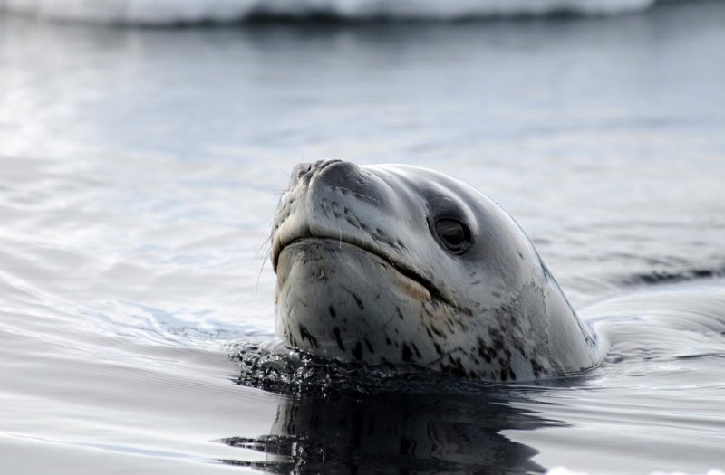 Фото Антарктиды 13 Фото National Science Foundation   Dr. Paul Ponganis