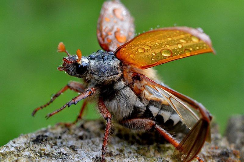 jonas  – фото насекомых