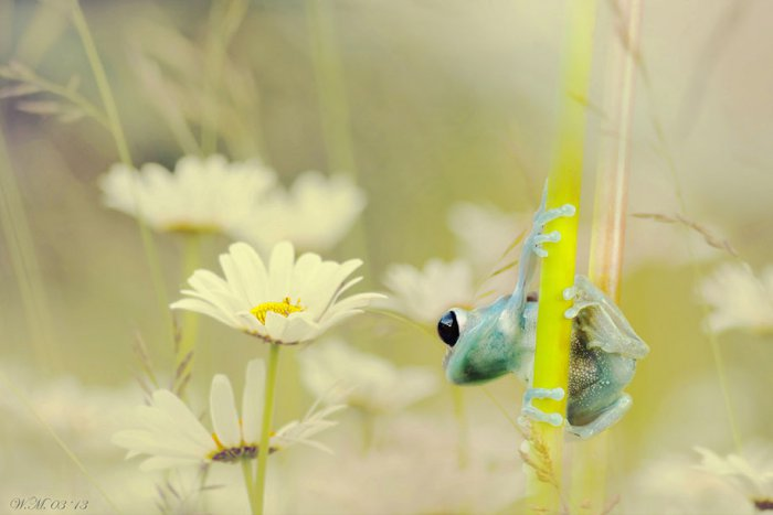 Заманчивый мир лягушек в макрофотографии Уила Мийера - №15