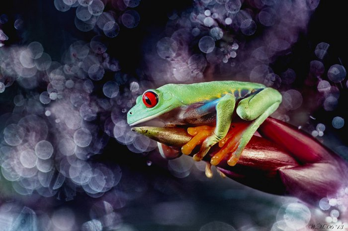 Заманчивый мир лягушек в макрофотографии Уила Мийера - №11