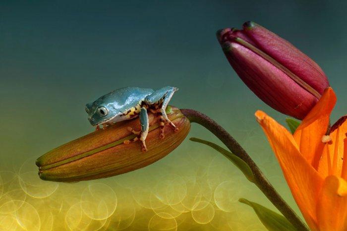 Заманчивый мир лягушек в макрофотографии Уила Мийера - №7