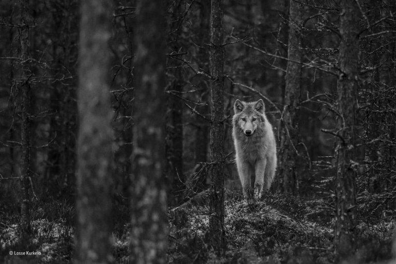 Автор фото: Лассе Куркела. «Волк наблюдает»