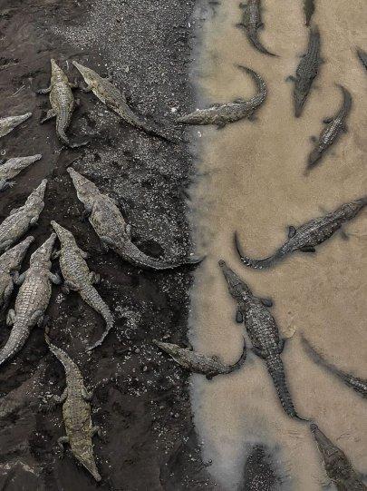 "Третье место в категории ""Природа"": ""Крокодилы на реке Тарколес"", Коста-Рика, автор – Тарун Синха"