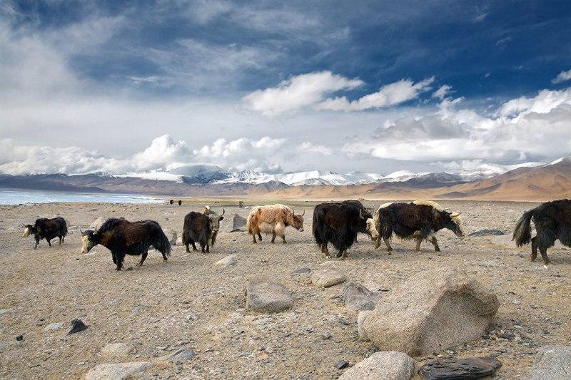 Яки в горах Памира. Восточный Таджикистан