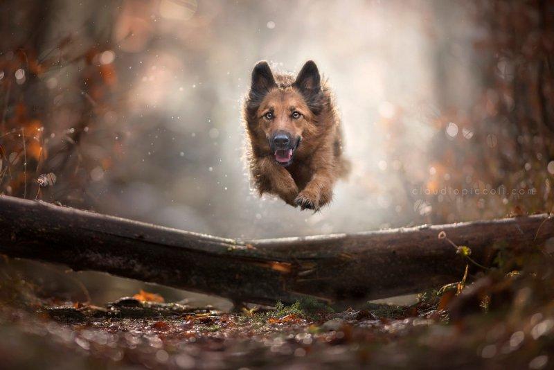 Собаки в фотографиях Клаудио Пикколи - №22
