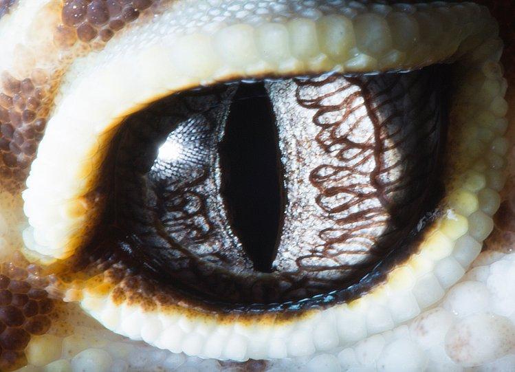 Ящерица рода эублифар